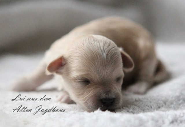 Bolonka Zwetna Newborn